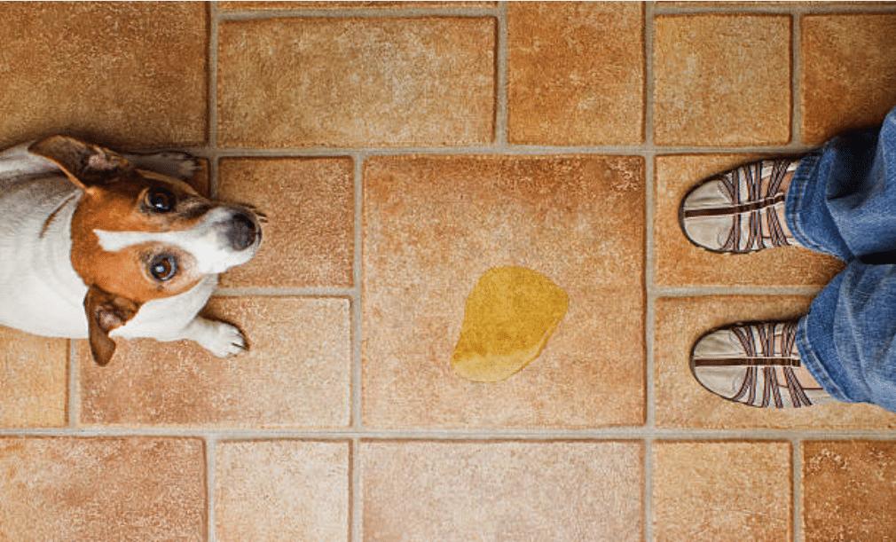 chien urine chaussure sol maison interieur