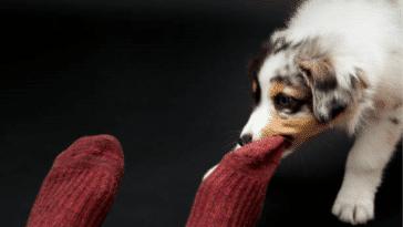chiens chaussettes paludisme