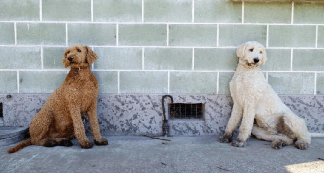 chiens consaguinité couleurs jumeaux