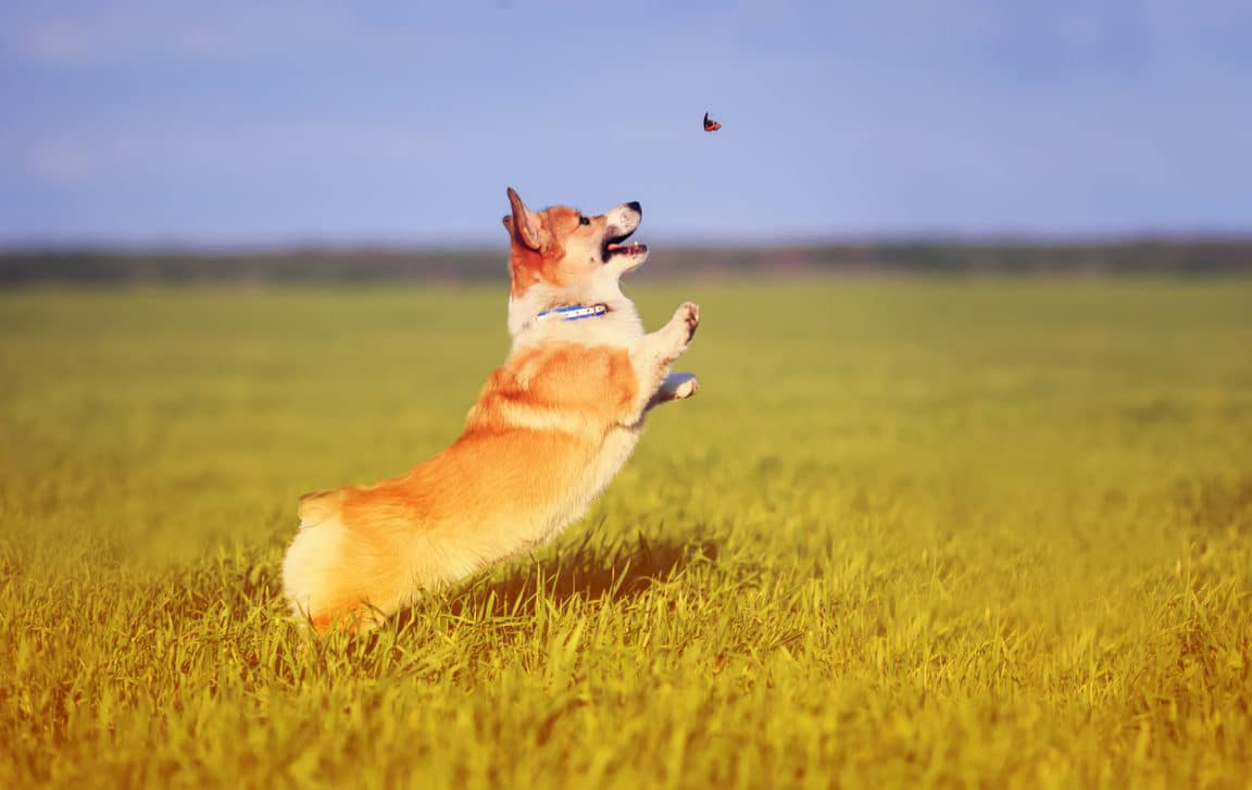 chien comportement souffre papillon