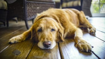 chien ennui seul fatigué