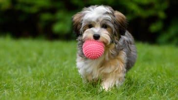 chien chiot lancer balle
