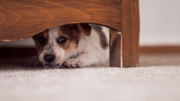 chien peur caché meuble