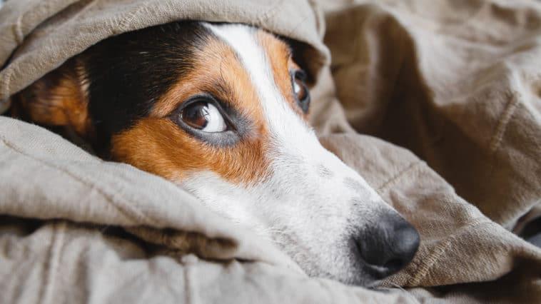 chien souffrir couché