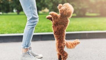 chien debout saute maitre