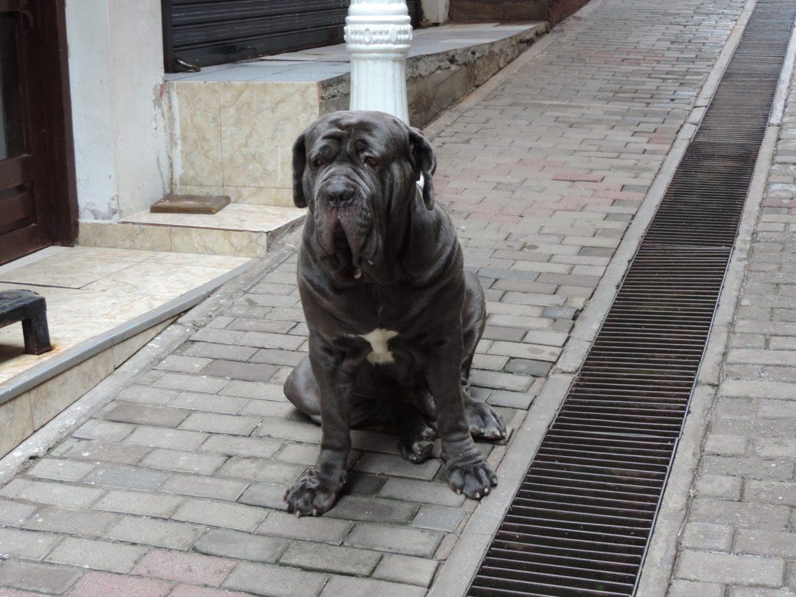 matin napolitain plus grandes races de chiens du monde
