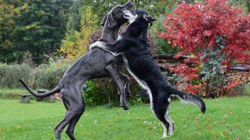 plus grandes races de chiens du monde