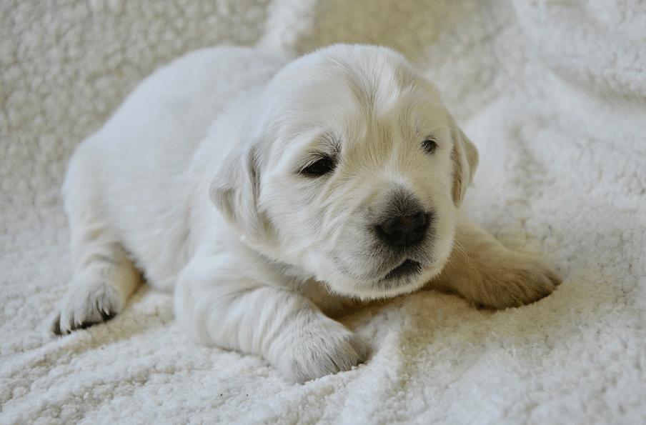 chiot couché