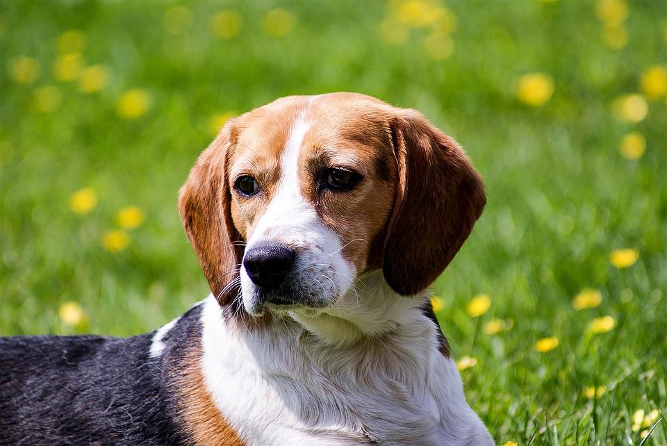 beagle herbe