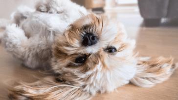 chien allongé intérieur
