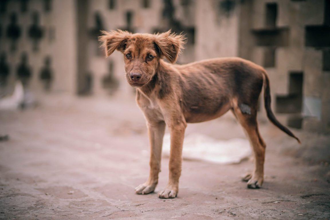 chien maigre