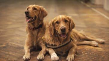 chiens couple sterilisation chien