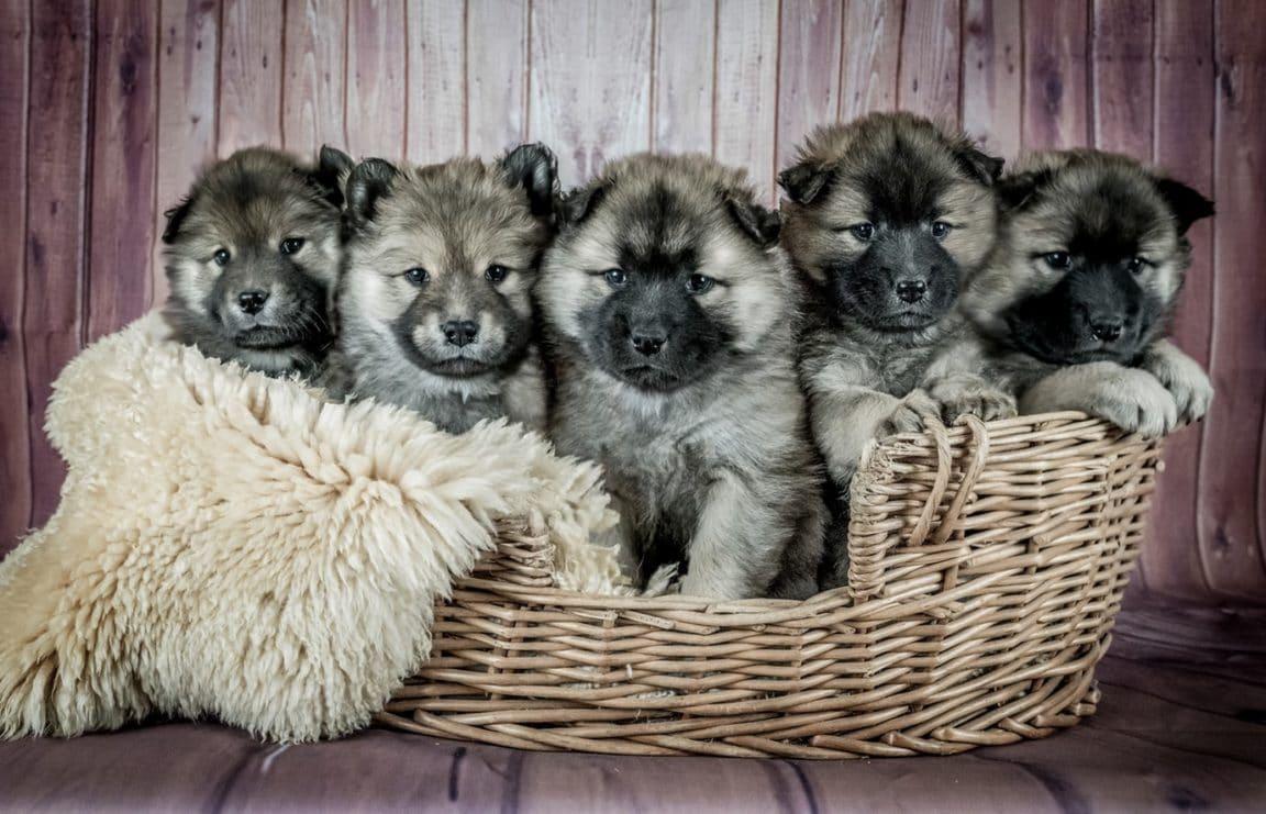 chiots chien peureux