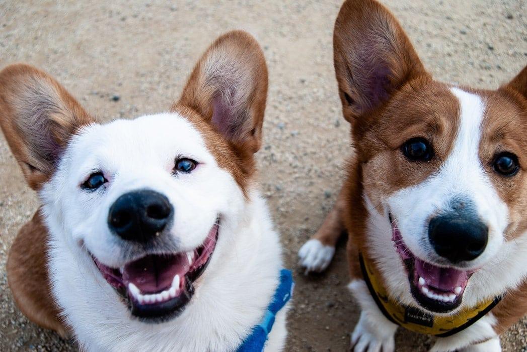 corgi deux chiens