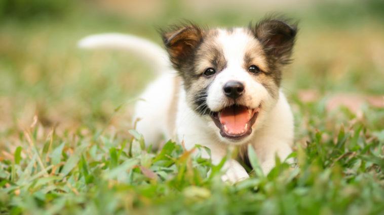 Chiot excité courir herbe