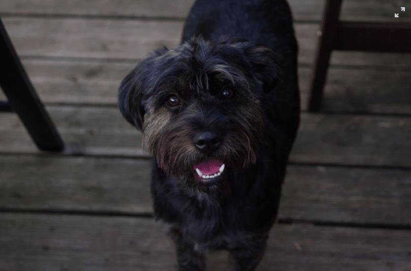 petit chien noir