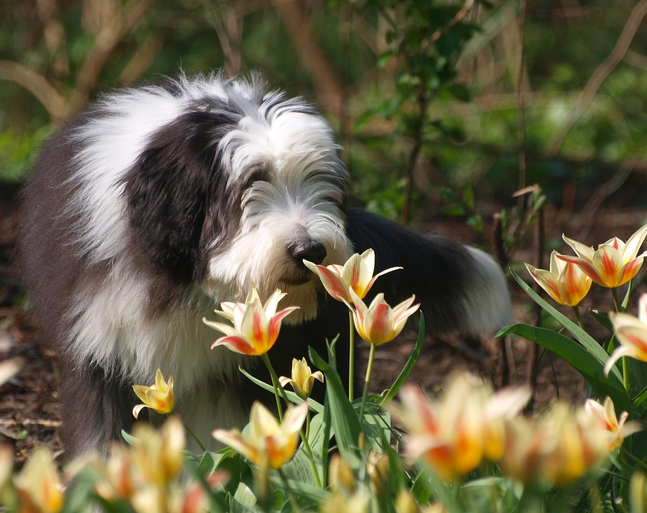 bearded collie fleurs