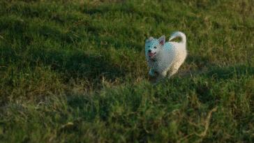 chien qui court dans l'herbe