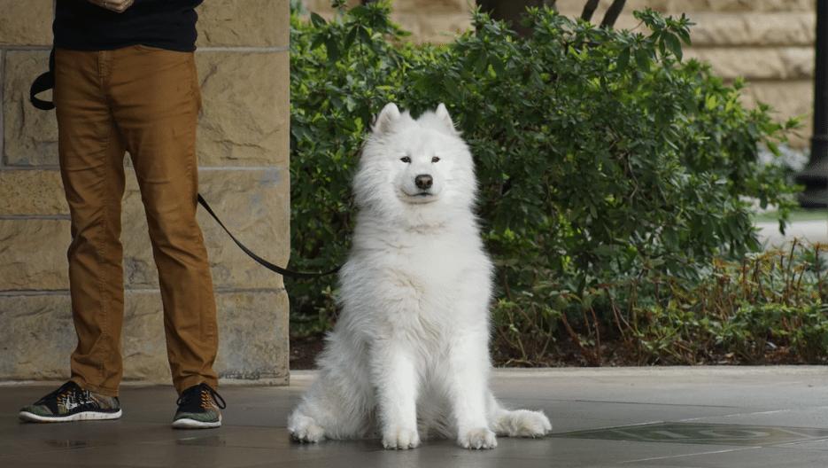 chien blanc sage en laisse