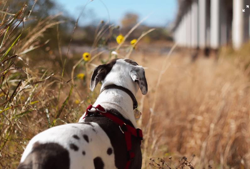 chien dans la campagne