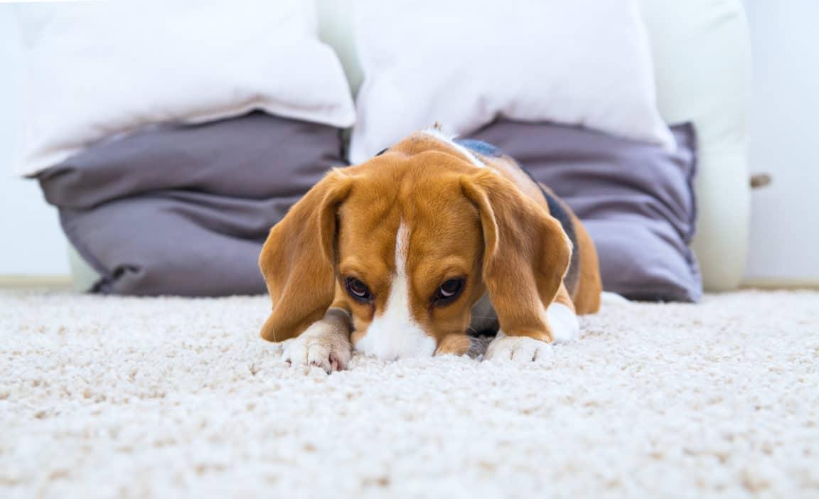 chien tapis moquette