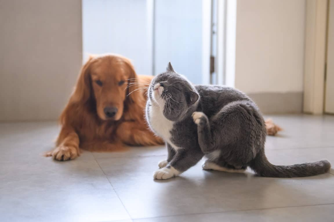 chien chat gratter puce