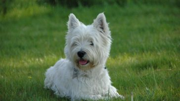 Westie Westie West Highland White Terrier