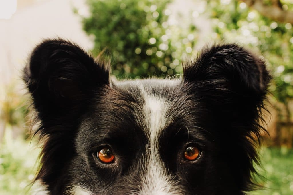chien regard