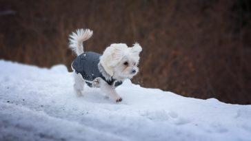 chien manteau