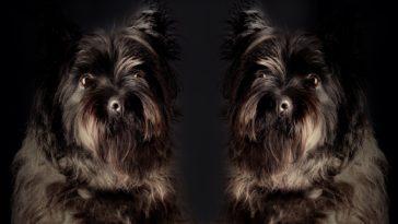chien clone
