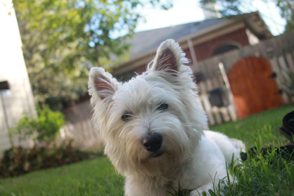 chien Westie West Highland White Terrier