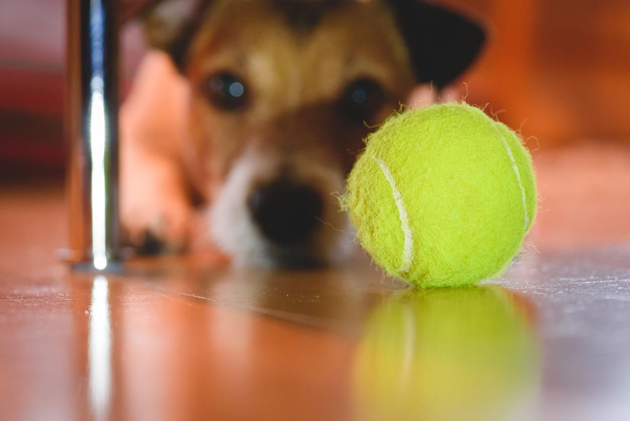 balle tennis chien