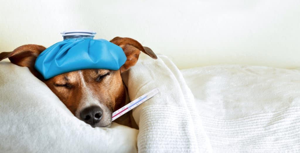 chien malade fièvre