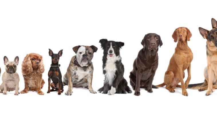 chiens par taille