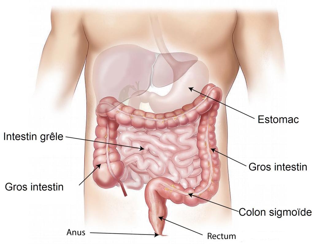 système digestif homme