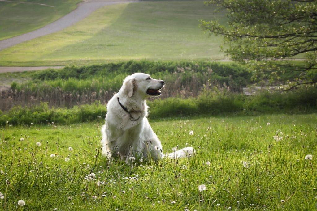chien champs