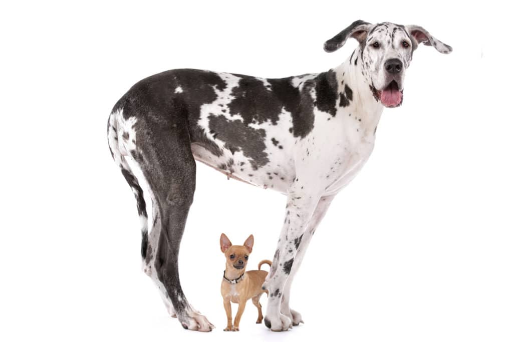 Chihuahua Dogue Allemand