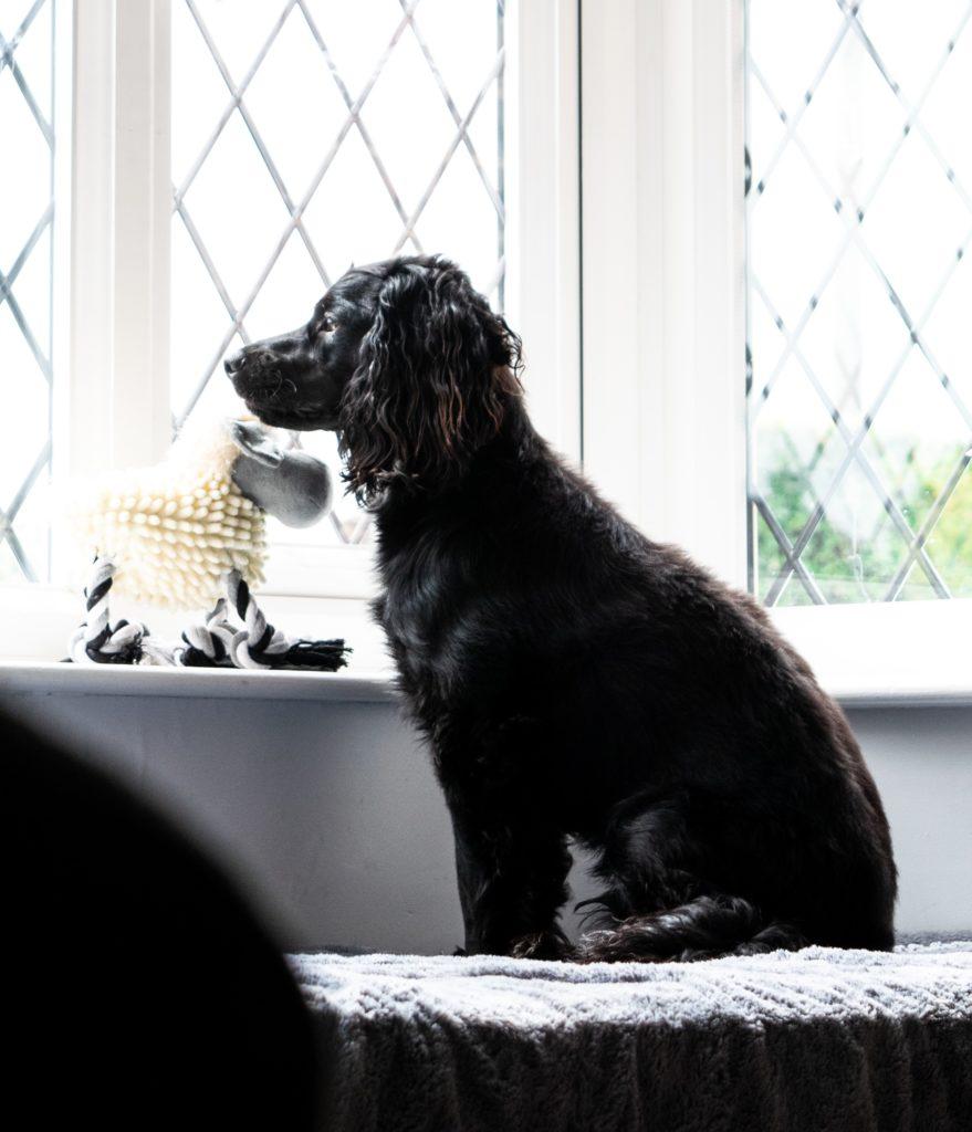 chien à la fenêtre