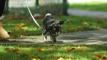 promener lapin