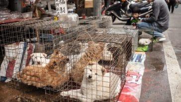 viande de chien et de chat