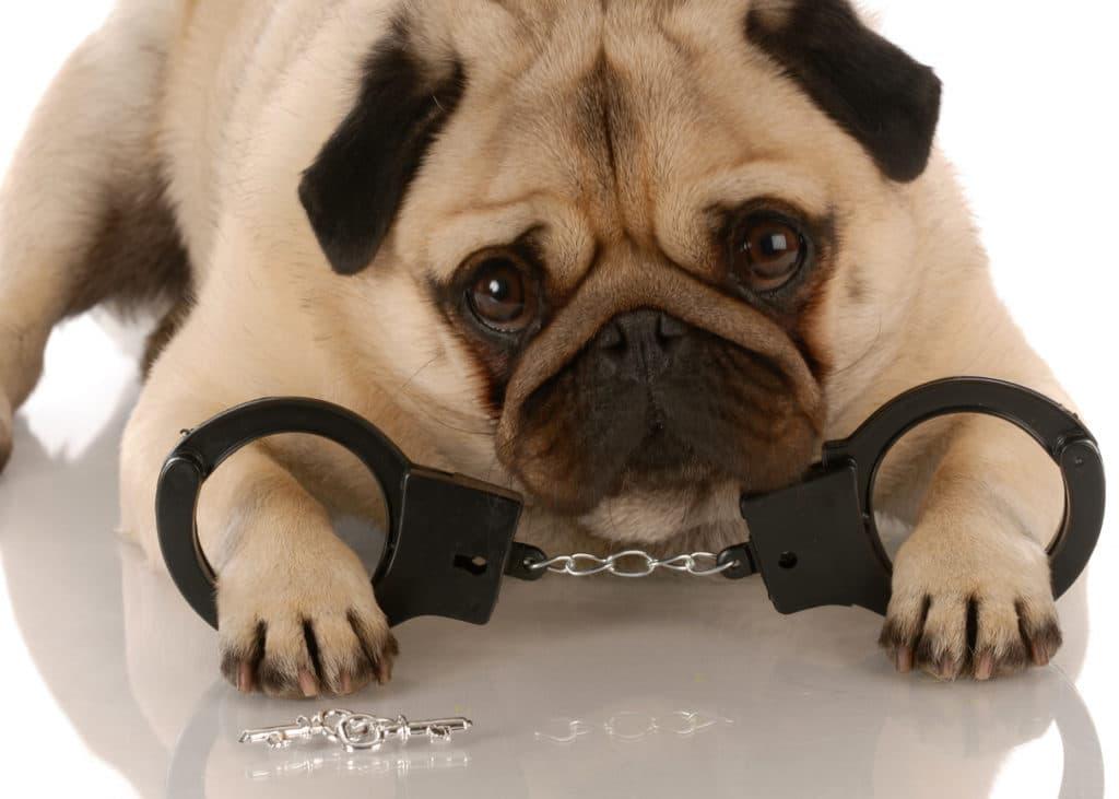 chien menottes