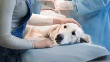 vétérinaire pyomètre de la chienne