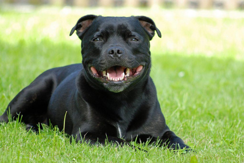 races de chiens préférées : Staffordshire Bull Terrier