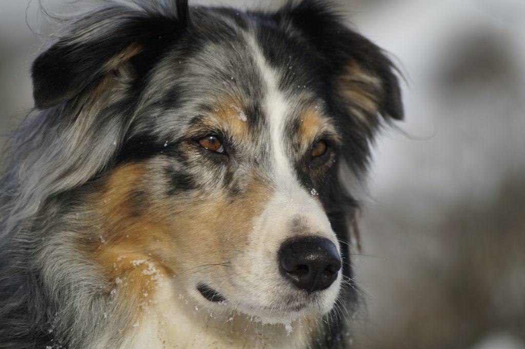 races de chiens préférées des Français : Berger Australien