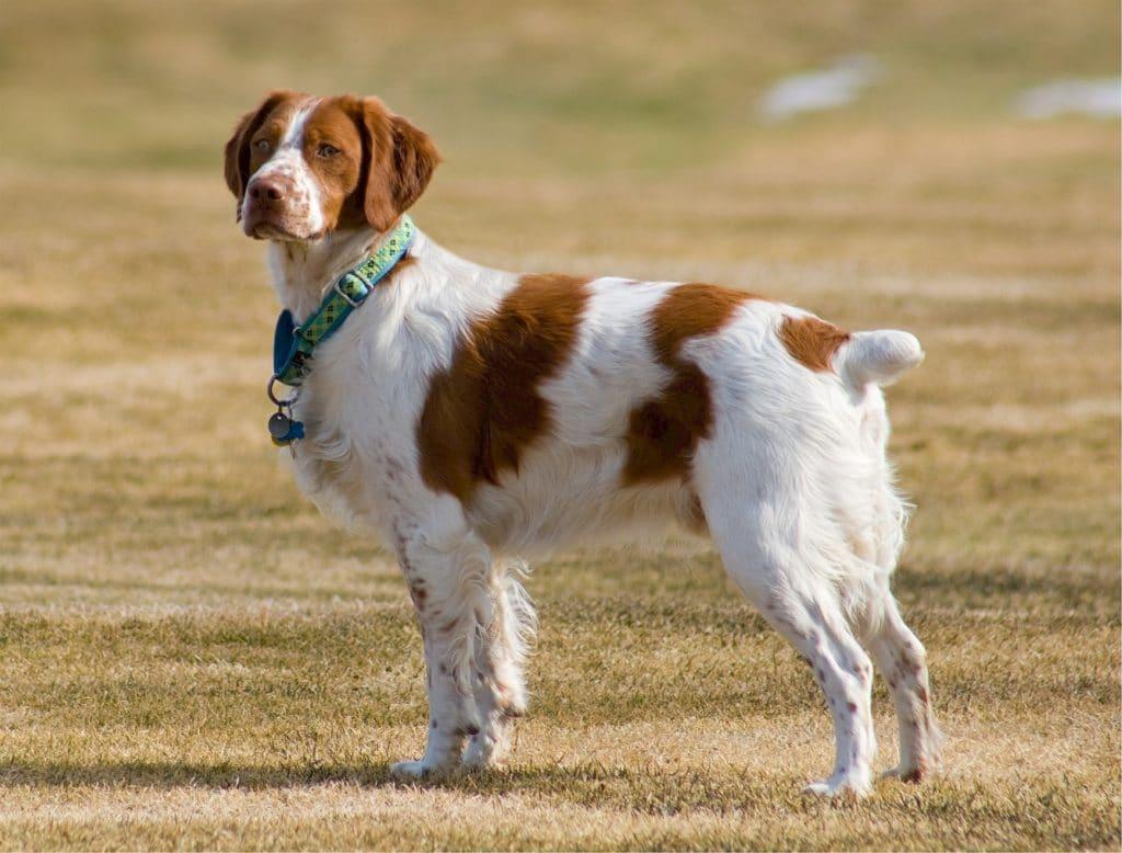 races de chiens préférées des Français : Épagneul Breton