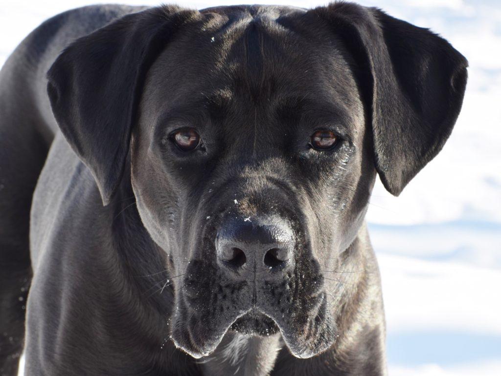 races de chiens préférées des Français : Cane Corso