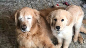 chien guide pour un chien aveugle