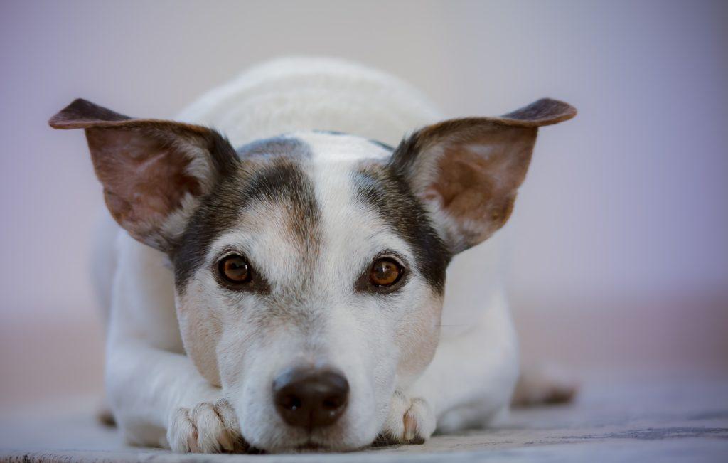 chien émotions regard yeux