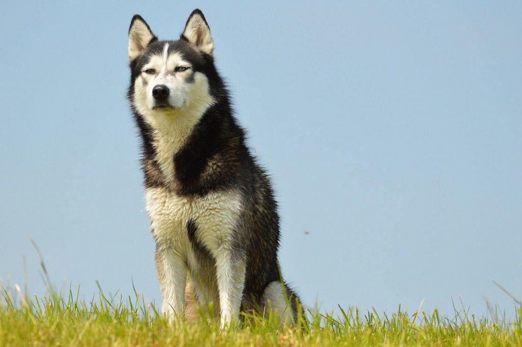 races de chiens préférées des Français : Husky