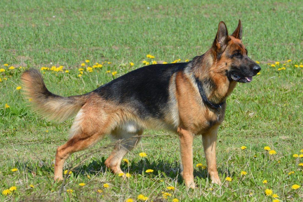 races de chiens préférées : Berger Allemand
